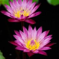 Yoga Two Lotus